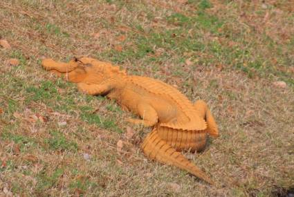 orange-gator